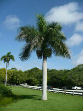 Roystonea regia - Florida Royal Palm - 10 seeds