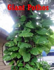 Buy 1 Get 1 Free ! Cutting Climbing Giant Pothos philodendron Money tree Plants