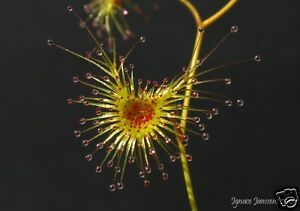 Giant Sundew Seed Drosera gigantea Tuberous Native Winter Growth & Flowering