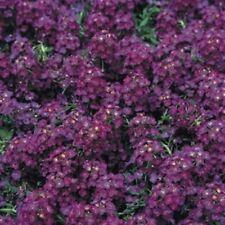 100 Dark Purple Alyssum Seeds Carpet Flower Sweet Royal Boarder Plant Garden 289