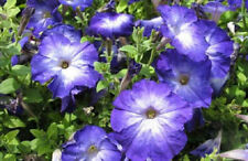 200 Pelleted Petunia Seeds Merlin Blue Morn BULK SEEDS