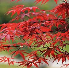 10 PCS JAPANESE MAPLE TREE Acer Palmatum Red Maple Seeds Garden Beauty Decor New