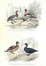 Birds: Grey WIDGEON, Shelldrake, scoter, Sea Duck; Canard; Tadorne. Buffon; 1841