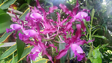Exotic! Schomburgkia rosea, Bare root, one of the most Exotic Orchid Plant
