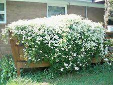 20+ Sweet Autumn Clematis Vine Seeds,Perennial,Hundreds Of Lovely White Flowers
