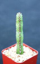 "Euphorbia heterochroma, African catedral plant bonsai tree rare cactus exotic 2"""