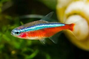 "8+2 Cardinal Tetra (1"") Live Fish 2 Day Fedex Shipping"