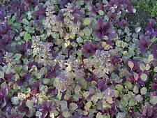 "Burgundy Glow Ajuga 24 Plants - Carpet Bugle - Very Hardy -1 3/4"" Pots"