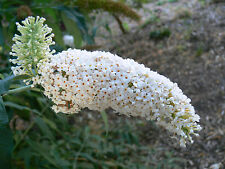 BUDDLEIA DAVIDII WHITE (BUTTERFLY BUSH) IN 50mm FORESTRY TUBE