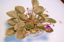 """African Violet """"Cedar Creek Dogwood Belle"""" bell blooms/dogwood tips"""