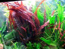 1 bulbe de barclaya longifolia  rouge aquarium tres rare nano bac crevette