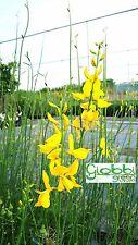 Spartium Junceum - Ginestra Selvatica - Rustica - Odorosa vaso 17 (5 piante)