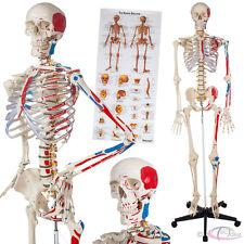 Human skeleton anatomical model teaching muscles and bones painting +numbering n