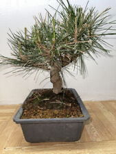 Japanese Black Pine Bonsai very twisted great movement shooin mame