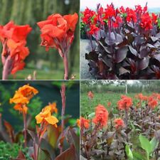 100 Pieces Pack Canna Lily Seeds Flower Seeds Bonsai Seeds Lily Flower Seeds