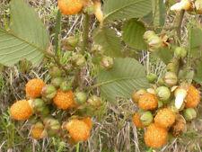 Gelbe Himbeere, Rubus Ellipticus, YELLOW Raspberry ,10 Samen, 10 seeds
