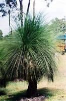 Queensland Grass Tree Seeds Australian Native Plant Drought Tolerant Evergreen