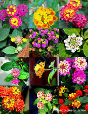 Rare Lantana Mix Shrub Verbenas Butterfly Garden flowers Ham And Eggs 20 seeds