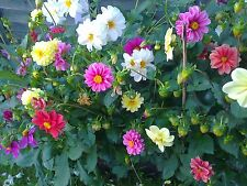 150 Dahlia Seeds Unwin Flower Mix
