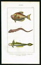 Hump-head & Lance-tailed Goby, Exotic Fishes, Hand-Colored Engraving - Lacepede