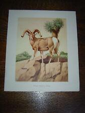 DESERT BIGHORN SHEEP - WEBER - 1950 - National Wildlife Fed., Washington, D C