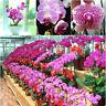 20 Plante Bonsaï Graine Phalaenopsis Orchidées Graines De Fleurs Jardin Bonsaï