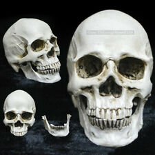 1PC Human Skull Replica Model Anatomical Medical Skeleton Resin Skull Head Teeth