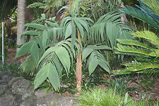 Geonoma interrupta - Chontilla Palm - 10 Quality Seeds