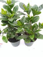 """Two Gardenia Grandiflora Plants Corsage Live Plant 4""""Pot Blooms Indoor Outdoor"""