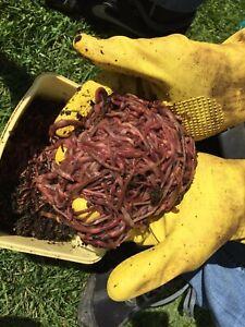 Kompostwürmer / Regenwürmer 300St. (Ca. 200g)
