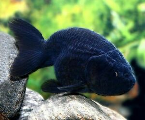 Lion Head Black Ranchu FANCY Goldfish Live Fish Aquarium Tank Coldwater RARE 2""