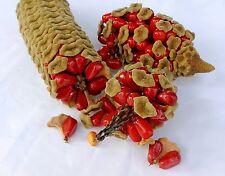 Cardboard Cycad palm, zamia furfuracea sago plant  tree mexican seed - 50 seeds