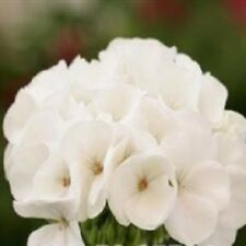 Geranium - Spirit White - 10 Seeds