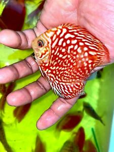 """3.5"""" Red Pigeon  Discus"""