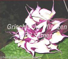 Datura blackcurrentswirl 15 Seme Tromba d'angelo cassetto pieno per balcone