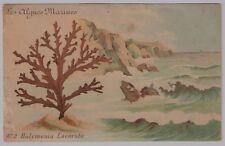 "CPA Les algues marines n°2 ""Halymenia Lacerata"" ref 281"