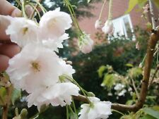 Prunus Shizuka - Home Pot Grown 10 foot + Ornamental White Cherry Tree :)