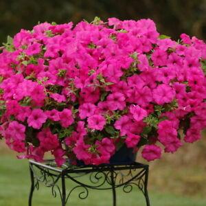 Surfinia Petunia Rainbow - Petunia x hybrida - Annual Flower Seeds