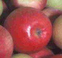 Orchard Apple Tree seedling Fruit tree low cost apples LIVE PLANT deer wildlife