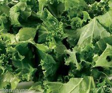 DWARF ESSEX RAPE KALE Brassica Napus Seeds (VEGETABLE SEEDS)
