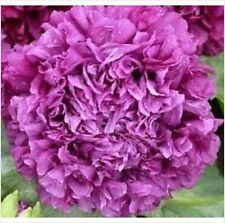 50 Semi di PAPAVERO PEONIA LILLA VIOLA*Papaver Purple Peony somniferum seeds