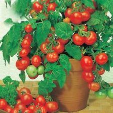 Bonsai Tomato Mini Cherry Potted Sweet Fruit Vegetable Organic Fresh Tomato Tree