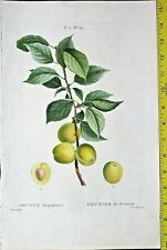 Bessa Fruit, Yellow prune twig, with fruit,large color engraving ca.1810