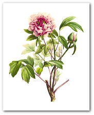 Flower Print, Botanical Moutan Peony Art, 8 x 10 Inches, Unframed