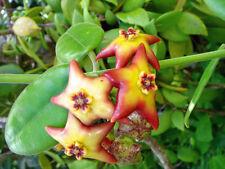 Hoya Ruthie piccoli e medi pianta in vaso sospeso impianto di casa
