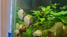 New listing 10 Magenta Mystery Snails (Pomacea Bridgesii) Live Freshwater Snail