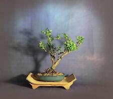 "Japanese Boxwood Bonsai Tree, ""Nursing heroes"" collection from Samurai-Gardens"