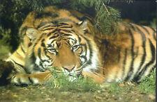 New ListingTiger Cat Wild Animal Postcard / Post Card Mint New Condition Ref: Cat547