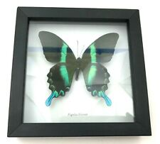 Papilio Blumei Butterfly Mounted Taxidermy Shadowbox Collectible Black Blue