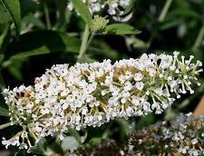 Schmetterlingsstrauch Buddleja davidii 'White Profusion'  60 - 80 cm im Cont.